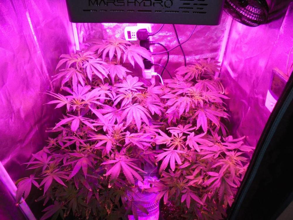 02may-2021-kj-grow-tent.thumb.jpg.618d2dbf1aa34cd5a89a7fe6fd1403b1.jpg