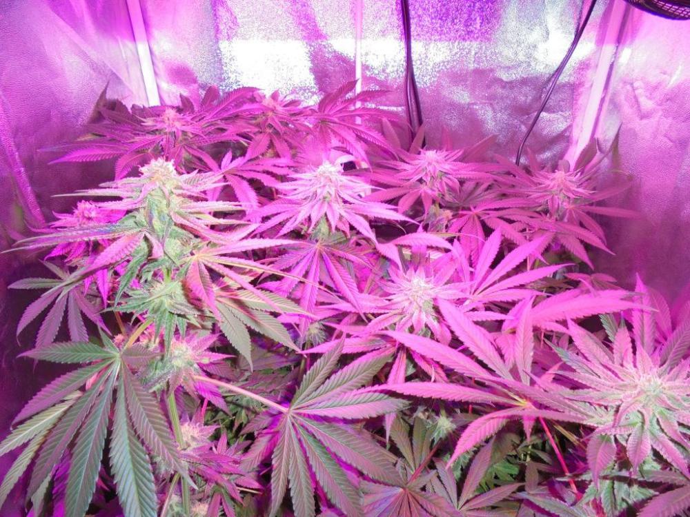 30may-2021-kj-grow-tent.thumb.jpg.047af5e33cc89ac039b5dc5a07f3ff48.jpg