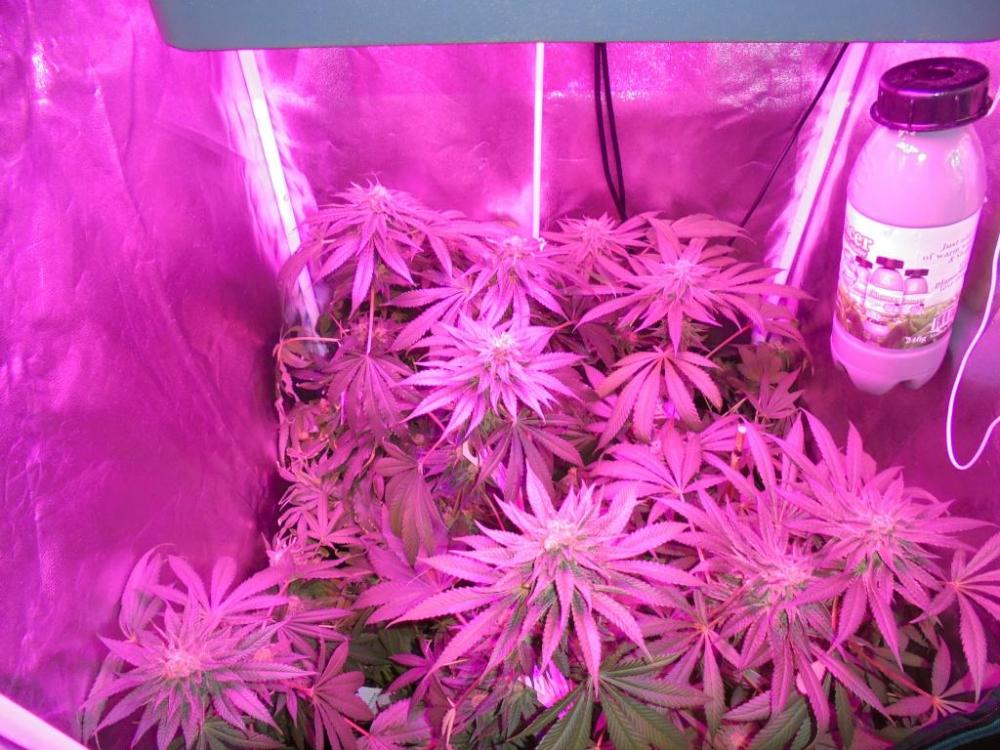 20june-2021-kj-grow-tent.thumb.jpg.82ea4fd714c35aa1953e3a62a4d85699.jpg
