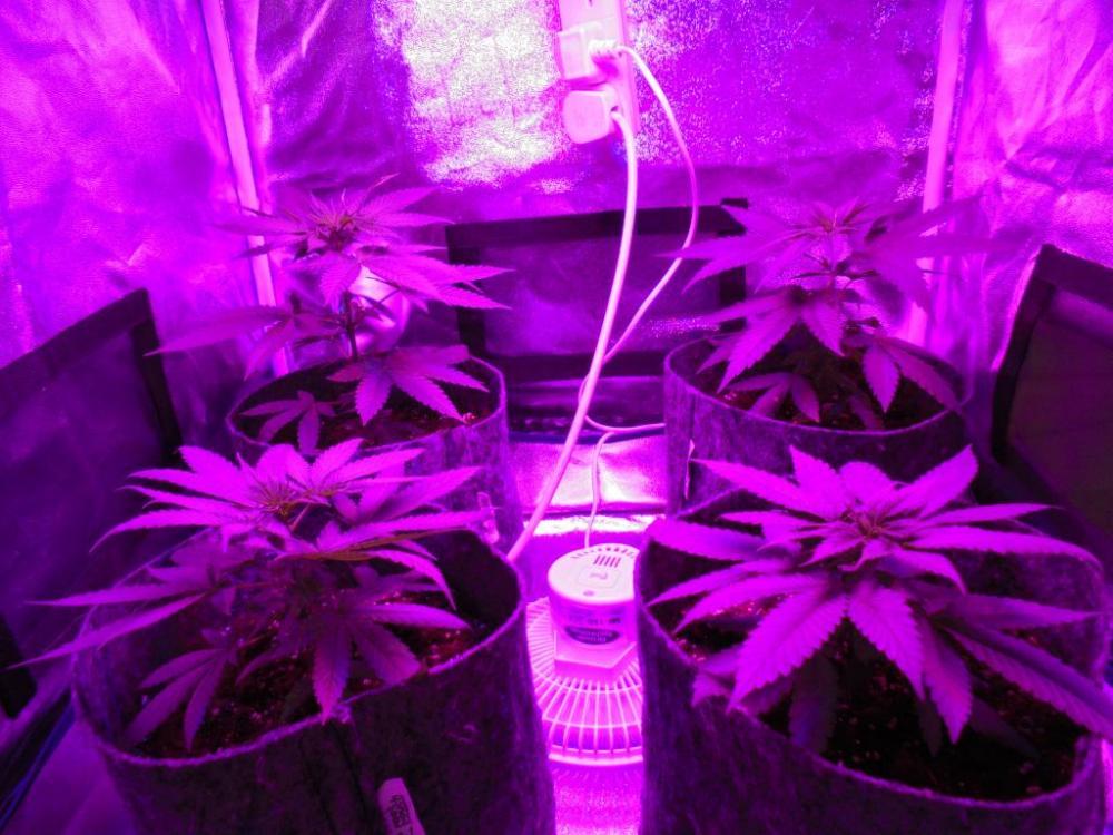 19july-2021-cb-grow-tent.thumb.jpg.f76bb066f63d2113a858f5eb88d80a80.jpg