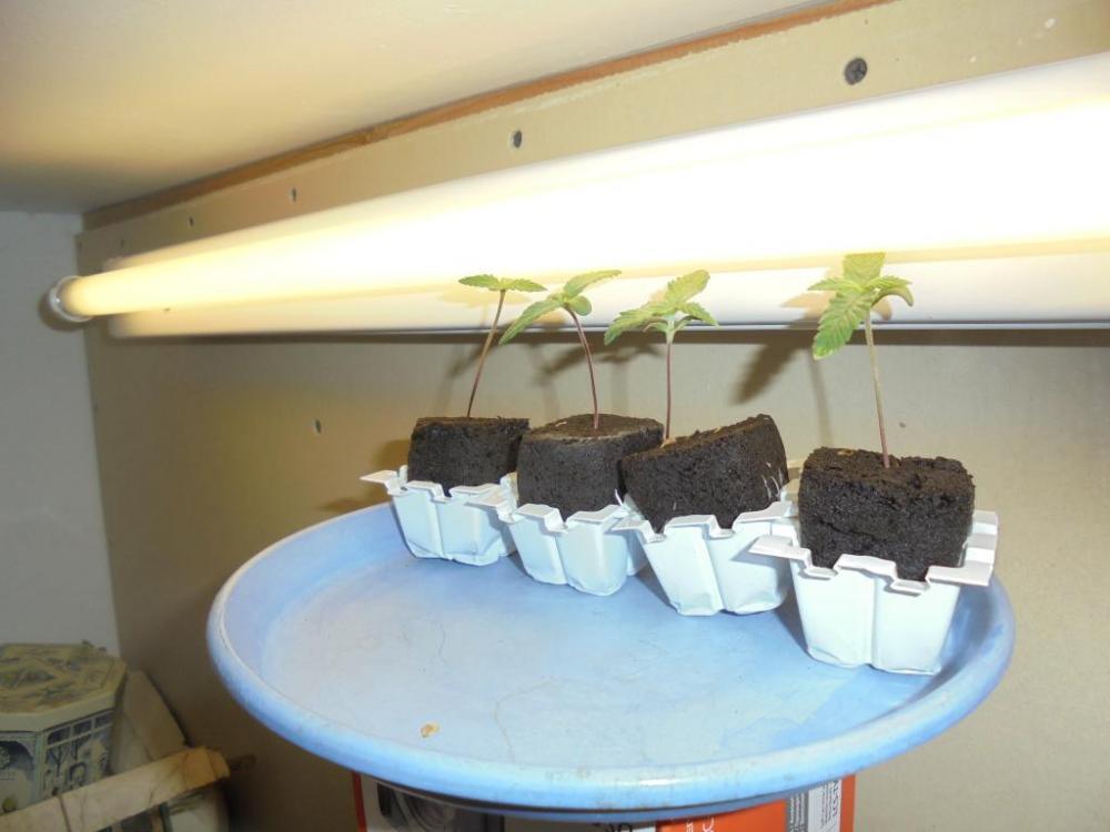 26june-2021-seedlings-fluro.thumb.jpg.db771929e364ca723893a2d167dcaaff.jpg
